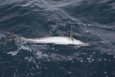...sailfish...